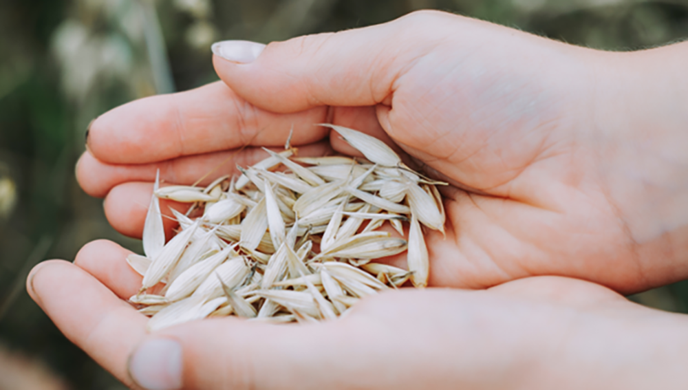 Image: hands holding oat grains